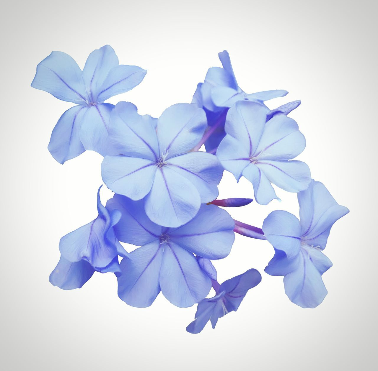 Flowers,Plants & Garden Botanical Flower Blue Plumbago Floral