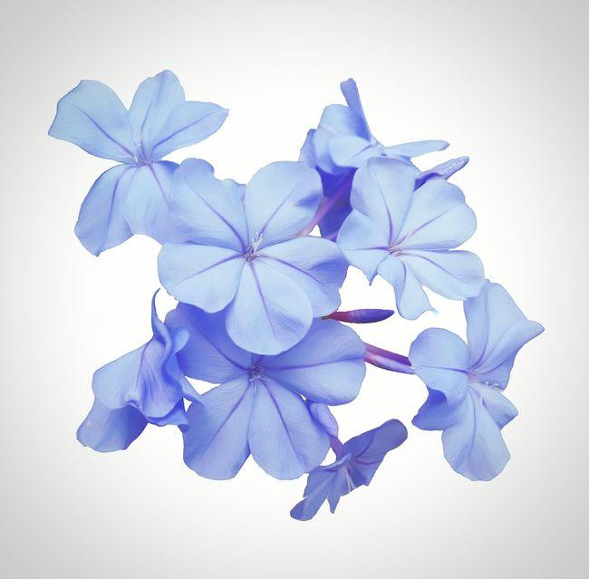 Flowers,Plants & Garden Botanical Flower Blue Plumbago Floral