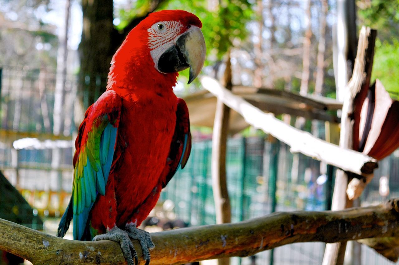 Bird Parrot Macaw Scarlet Macaw Focus On Foreground Perching Beauty In Nature Multi Colored Ara Macao