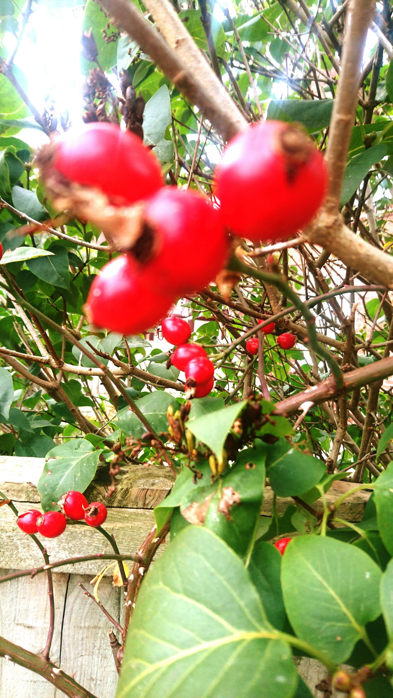 Red Growth Fruit Tree Vertical Branch No People Nature Leaf Green Color Close-up Plant Food Beauty In Nature Outdoors Day Freshness Agriculture Maximum Closeness Rose Hips Autumn Garden Photography Garden Fall Autumn Colors