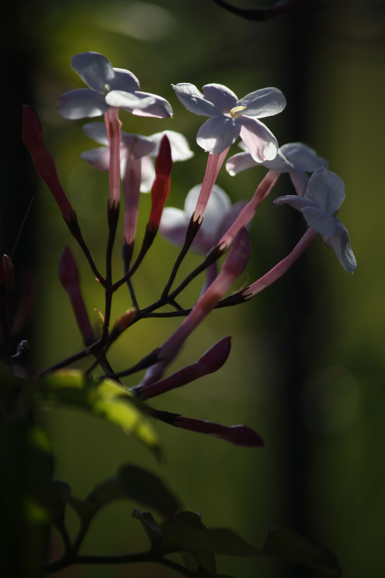 Jasmine Flower Nature Photography
