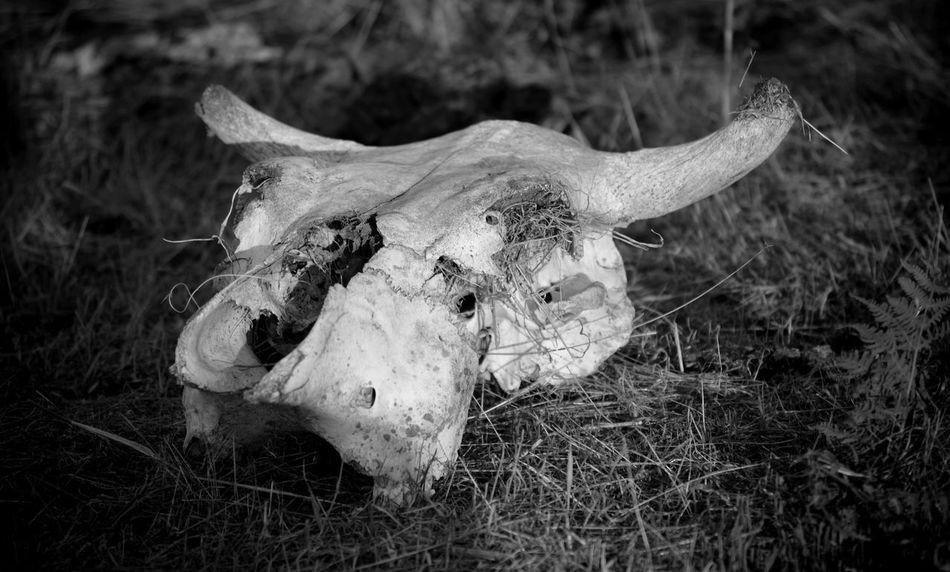 Skull Cow Skull Animal Bones Bnw_collection Bones Horns Black And White No People Animal Skull Bolotana