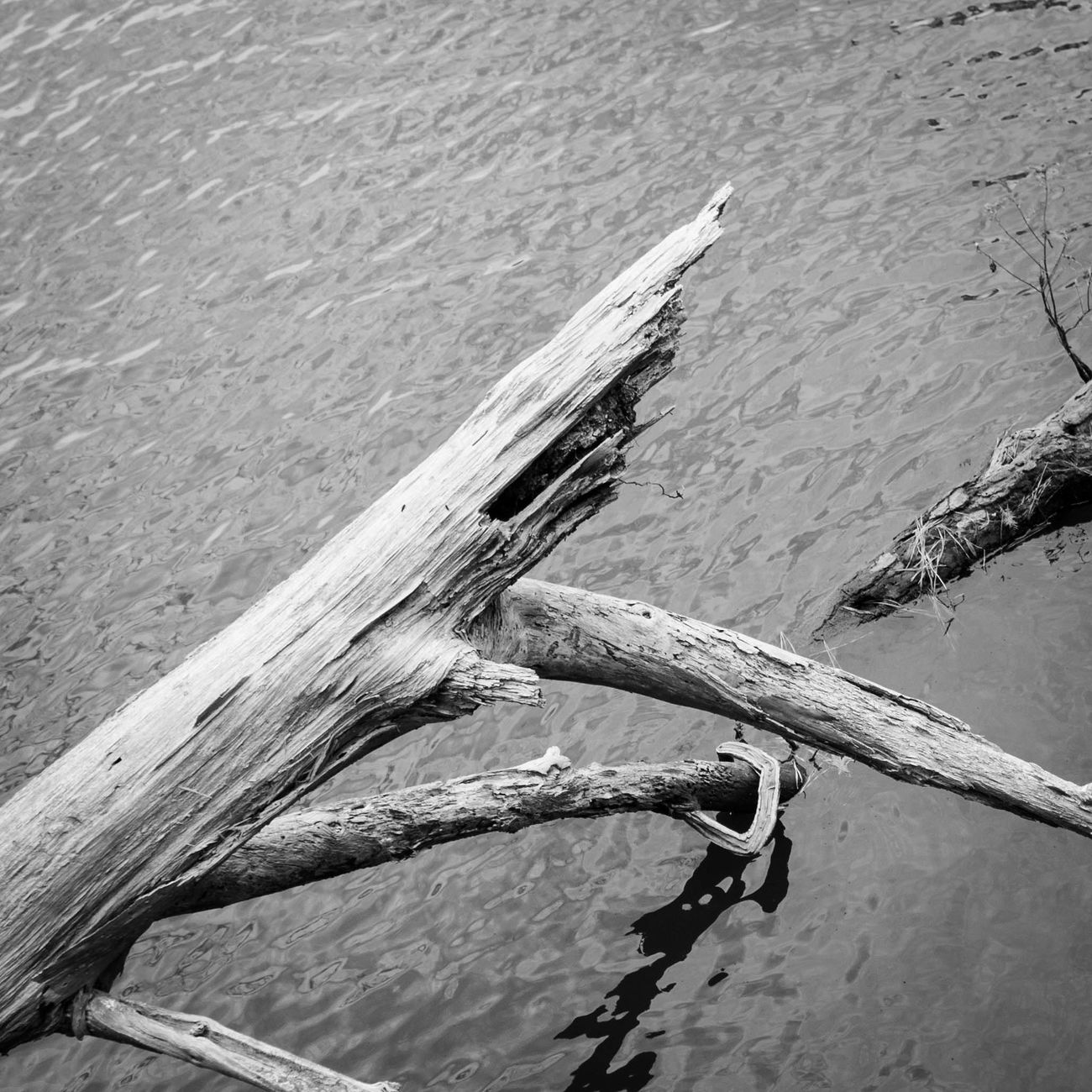 Deadfall in Lake Lawson, Virginia Beach. Monochromatic Blackandwhite Photography Beautiful Nature Virginia Beach Lake Lawson City Parks