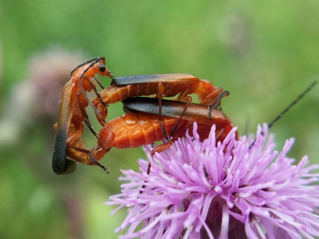 Rhagonycha Fulva copulation... in three - Serchio River Arthropoda Beauty In Nature Close-up Coleoptera Copulating Copulation Hexapoda Insect Insecta Nature Outdoors Rhagonycha Fulva