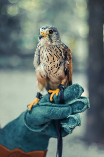 Animal Themes Animals In The Wild Beak Beauty In Nature Bird Bird Of Prey Close-up Focus On Foreground Hungarian Kestrel Looking At Camera Nature One Animal Perching Wildlife Windhover Zoology