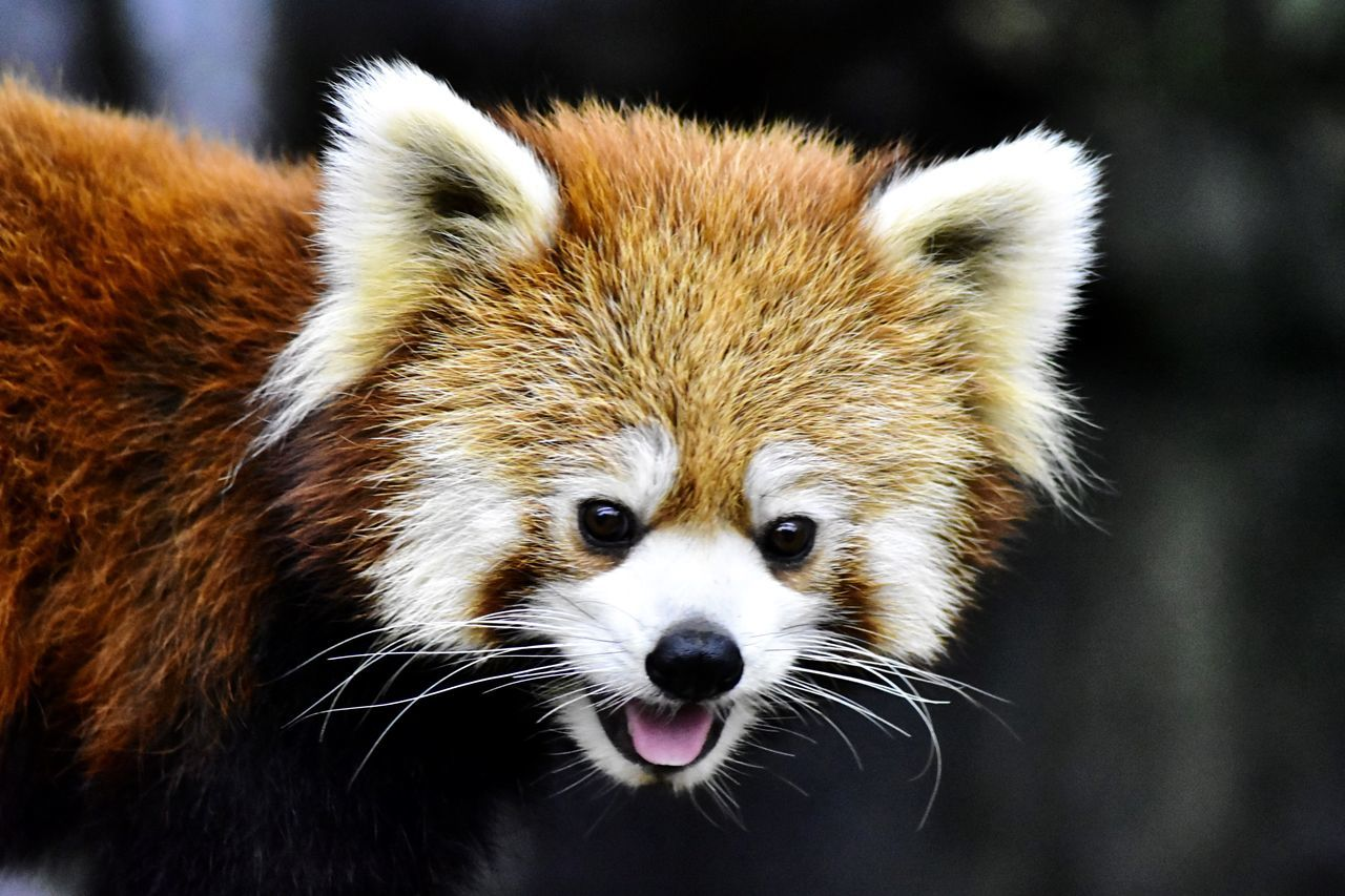 One Animal Mammal Animal Themes Looking At Camera Red Panda Animals In The Wild Portrait Animal Wildlife Focus On Foreground Panda - Animal No People Close-up Nature Outdoors Day
