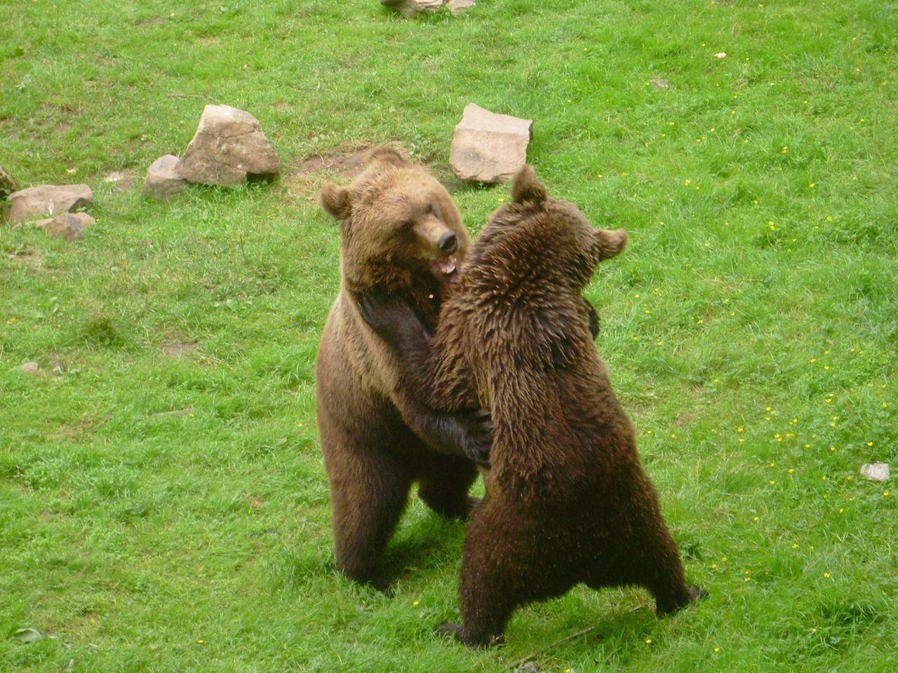Beautiful stock photos of bear, Animal Family, Animal Themes, Animals In The Wild, Bear