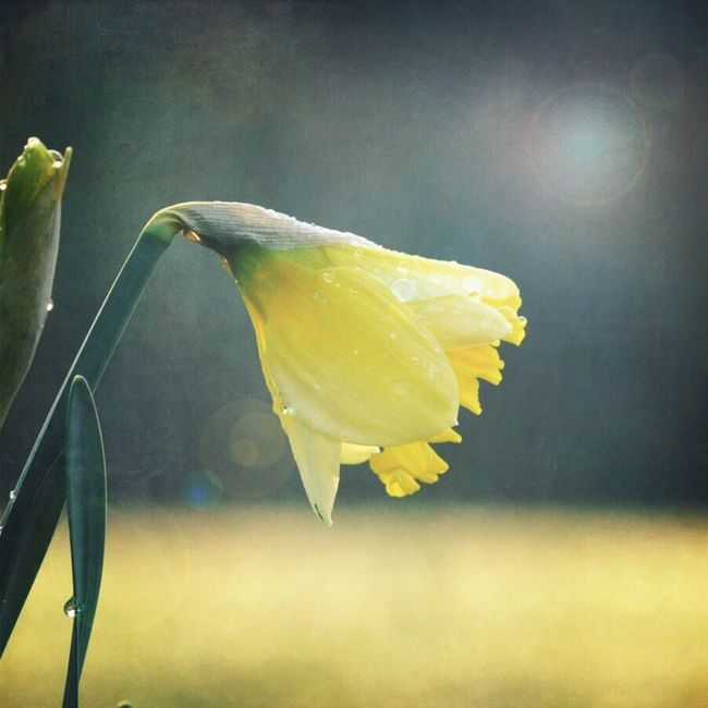 Happy Easter 🐰 Easter Spring Spring Flowers Spring Into Spring Spring2016 Daffodils