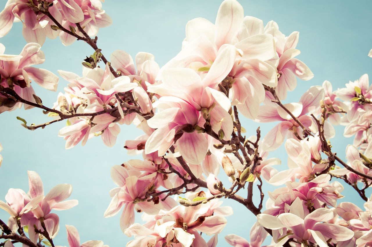 Beautiful stock photos of magnolie, Beauty In Nature, Close-Up, Day, Flower