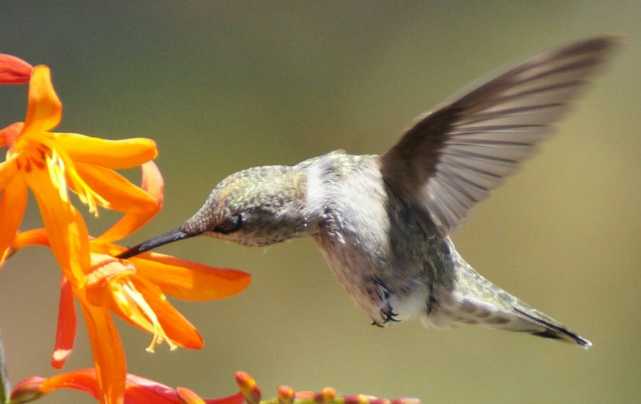 Humming Bird Flying Flowers, Nature And Beauty Hummingbird Birdwatching Flowersandbirds Birds In Flight Bird Photography Hummingbirds Flowers Hummingbirds Taking Photos