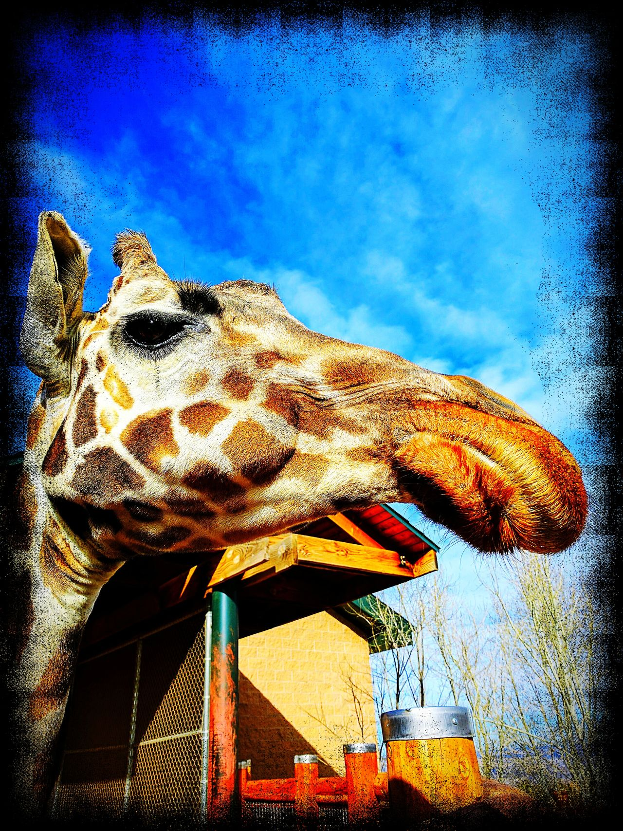 Sky No People Animal Themes One Animal Outdoors Nature Close-up Giraffe♥ Beauty In Nature Zoo Animals  Zoophotography ZooLife Aviary_edit Colorado Cheyenne Mountain Zoo Google Pixel Hello World Can You See Me?