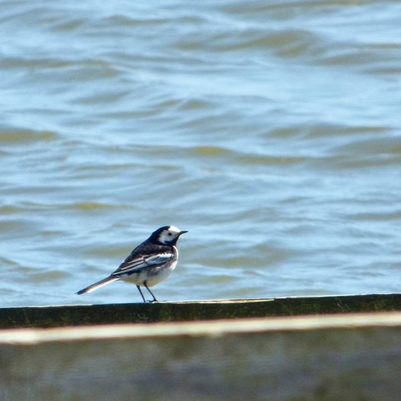 These Pied Wagtails are one of my favourites, bobbing along looking like they are dancing to a tune only they can hear 😍 Nature Photography Uknaturecollective Nature Wild Followme Ig_birdlovers Urbanwildlife Ig_birdwatchers Nuts_about_birds Kings_birds Wildlife Nature England Rsa_nature Ukwildlifeimages Springwatch Lumix Sussex
