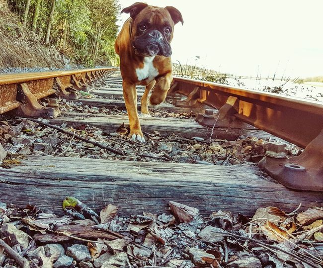 My Favorite Photo Dogs Boxer Dog Railway Old Wood Rust Filters Waterford City Waterford Waterford Greenway Ireland