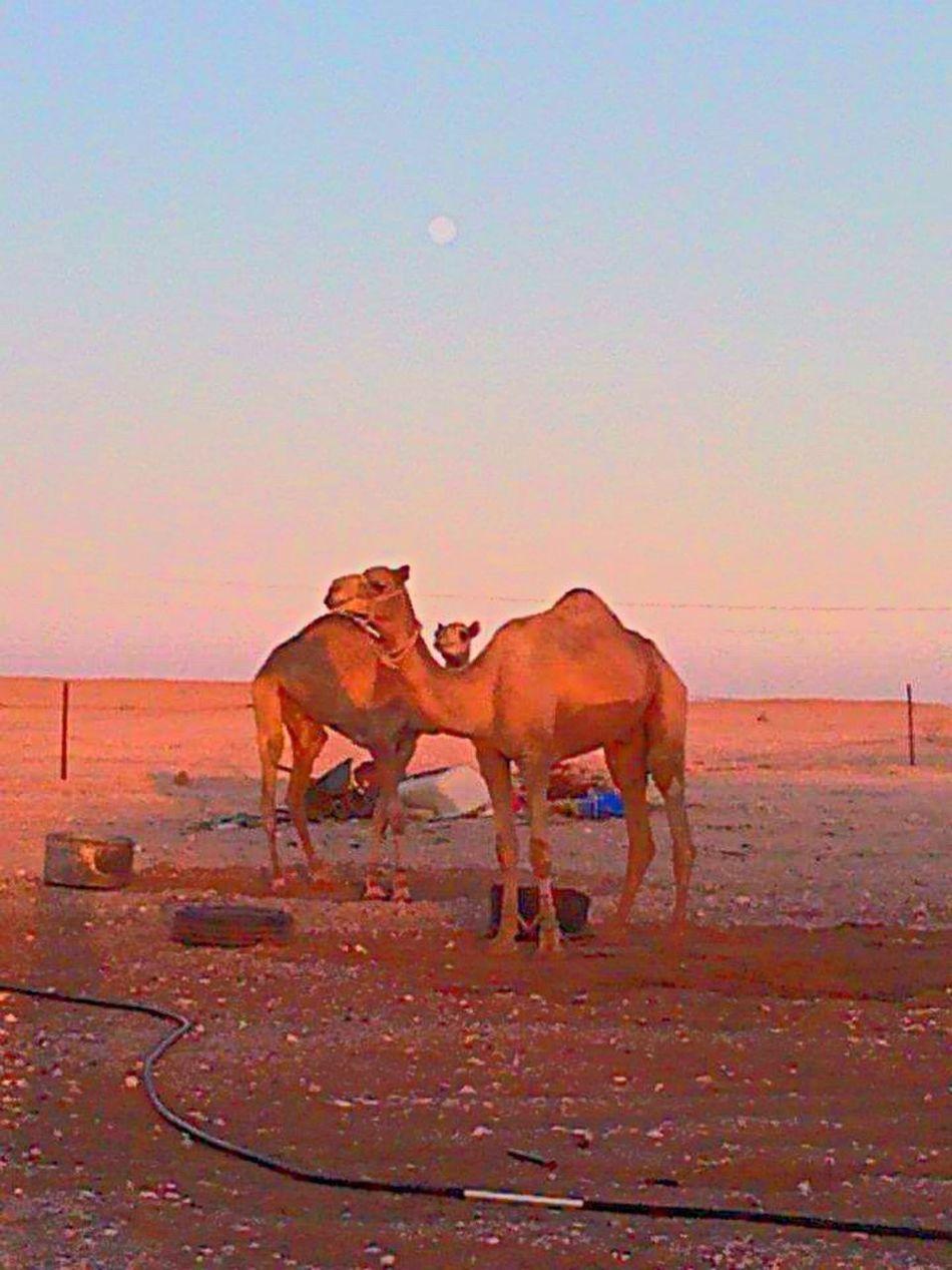 Travel Travel Photography Desert Desert Life Qatar I ❤ Qatar Camels We Love Camels!