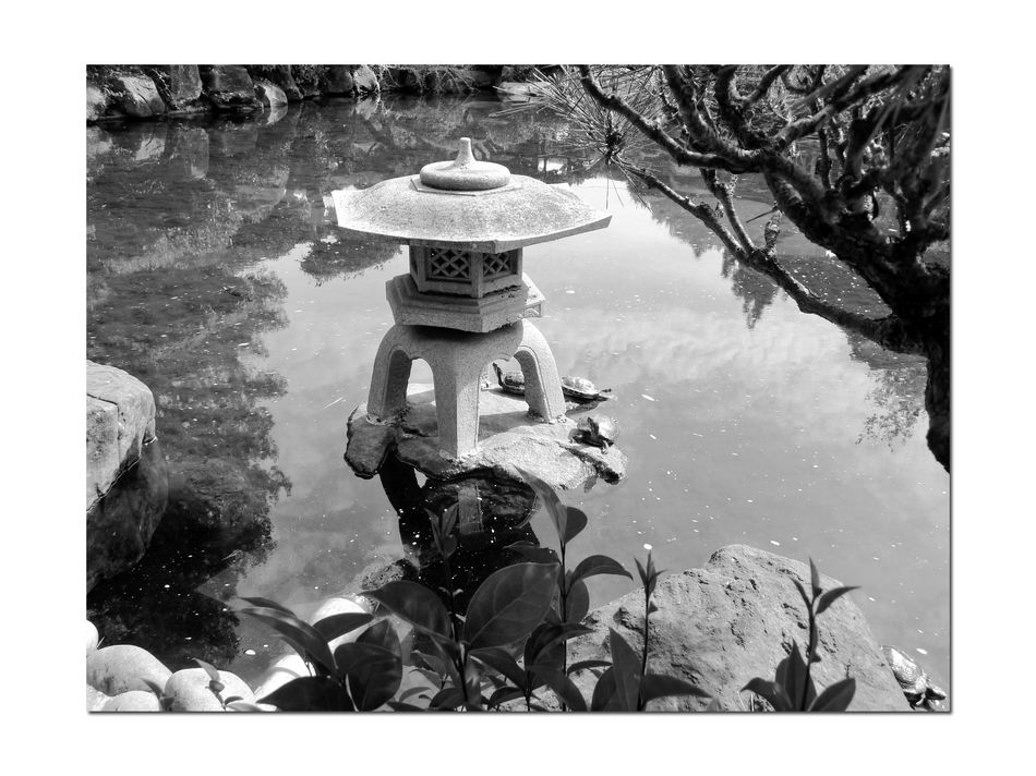 Turtles in a Pond 1 Red-eared Slider Testudines Emydidae Reptilia SemiAquatic Hayward Japanese Tea Garden Bnw_friday_eyeemchallenge Turtles Pond Japanese Lantern Garden Monochrome Water Reflections Reflected Glory Reflections In The Water Rocks Schrubs Trees Black & White Black And White Photography Black And White Black And White Collection  Most Popular Pet Turtle In U.S. Listed As Invasive Species