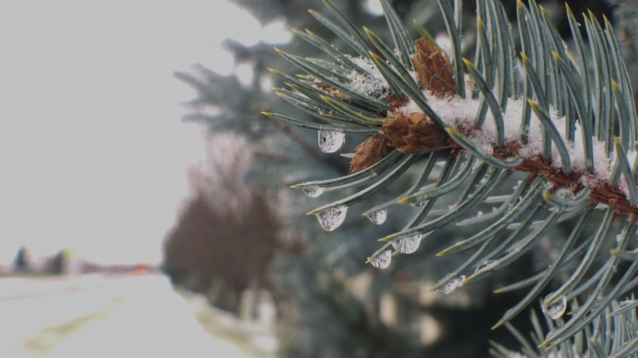 Nature Needle - Plant Part Close-up Plant Tree No People Outdoors Growth Leaf Branch Day Pine Cone Beauty In Nature Ice And Snow Taking Photos