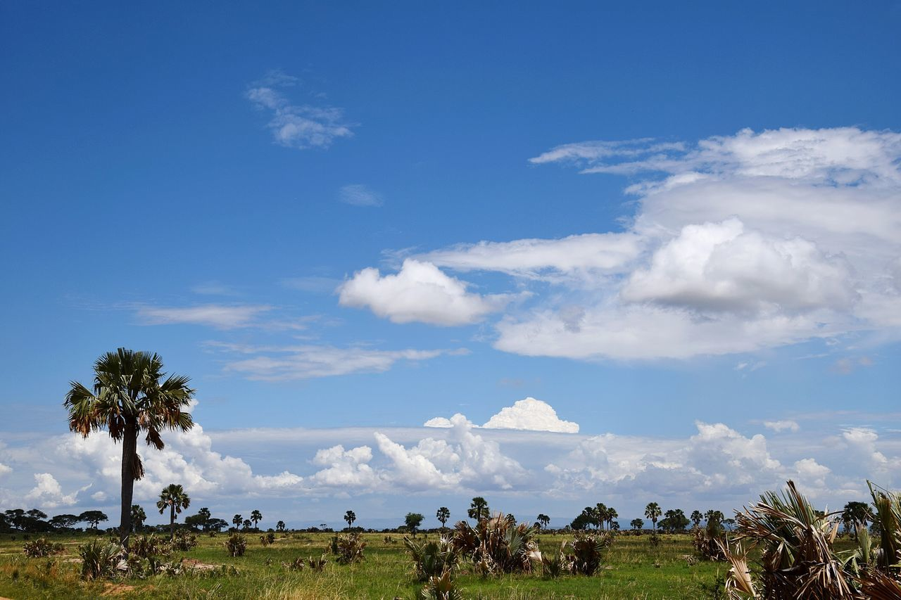 sky, cloud - sky, nature, tree, scenics, beauty in nature, landscape, day, tranquil scene, tranquility, grass, field, outdoors, blue, animal themes, large group of animals, livestock, no people, domestic animals, mammal, palm tree