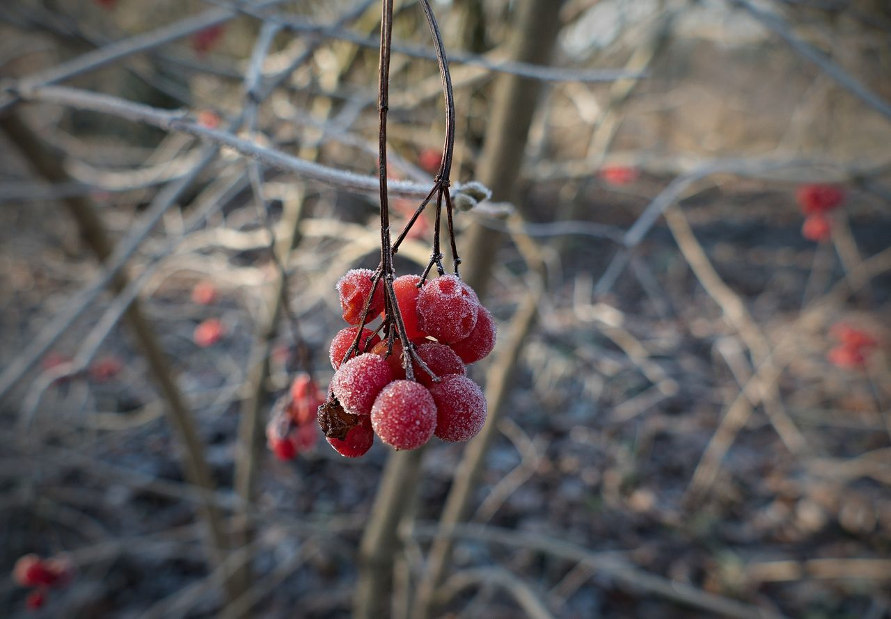 a buch of frosted berries in winter Berries Berry Bokeh Bunch Bunch Of Berries Close-up Day Focus On Foreground Focus On Object Frozen Frozen Nature Fruit Nature No People Outdoors Red Red Berries Twig White Frost Winter