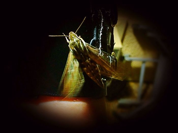 Flutter Away Young Arizona Spinx Moth, Until Next Our Paths Cross✨ Outdoors Beauty In Nature Moth Sphinx Moth Moth Close Up Insect Theme IPhone Photography Night Photography Night Creatures Having Fun With Photography