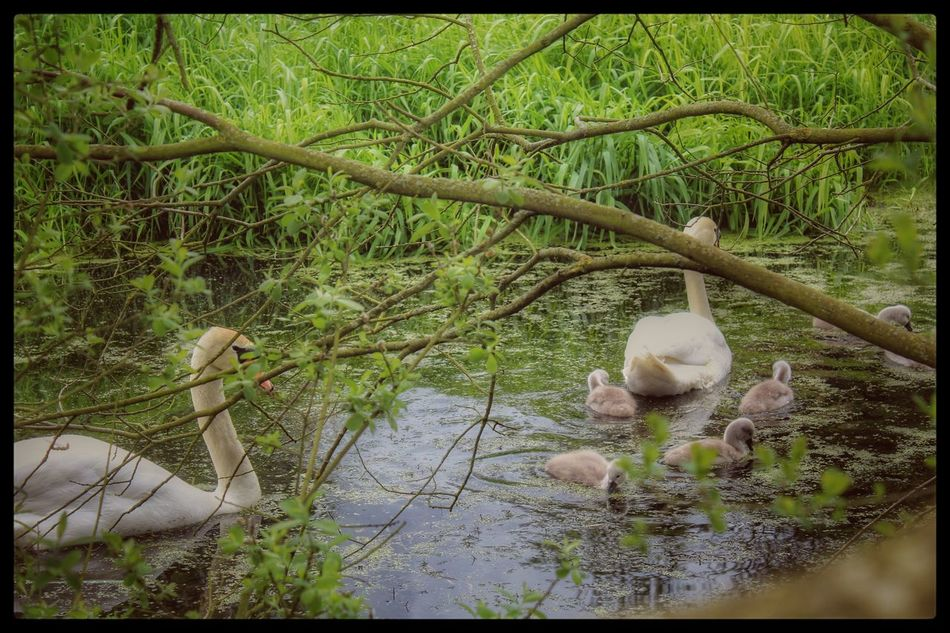 Swans Family Of Swans Signets EyeEm Gallery Our Best Pics Lagan Canal Moira Northern Ireland Natures Magic Beauty In Nature Nature_collection EyeEm Best Shots EyeEm Nature Lover EyeEm Best Shots - Nature Nature Animals Canal Life Canals And Waterways Pond Life