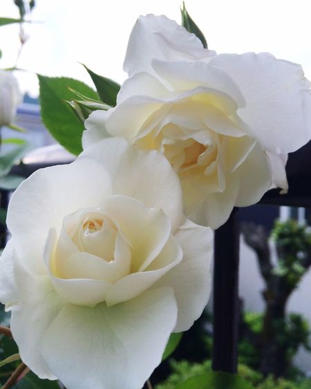 Hello World Mygarden Englishrose Iceburg Whiterose Flower Collection White Flowers Enr Davidaustin Davidaustin Roses Blooming Happy Time Awesome MyGallery Nature Nature_collection Naturephotography Rose🌹 Lovely Roses Of My Garden MyFavorite  Beauty In Nature Spring