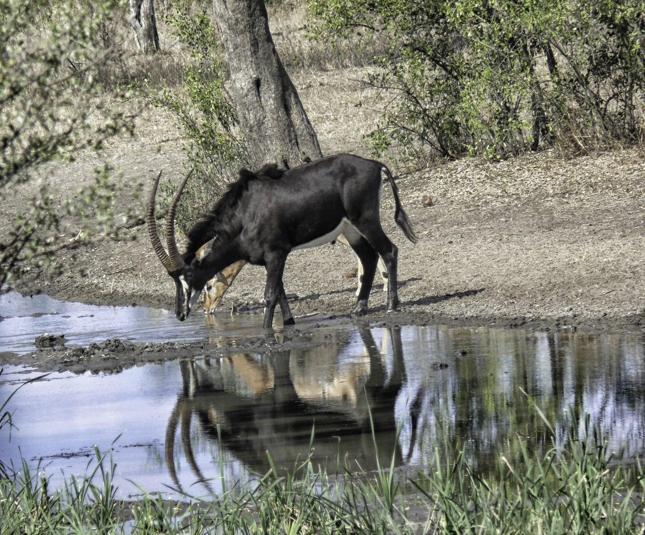 Horns Impala Africa African Safari Animal Themes Animal Wildlife Animals In The Wild Antelope Birds Black Day Drinking Full Length Grass Mammal Nature No People Outdoors Ox-pecker Ox-peckers On Back Prey Animls Reflections Sable Side View Water
