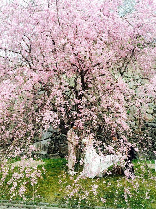 벚꽃 안 웨딩촬영👰💕 Fukuoka Mituru Park Widding 福岡 舞鶴公園 ウェディング撮影
