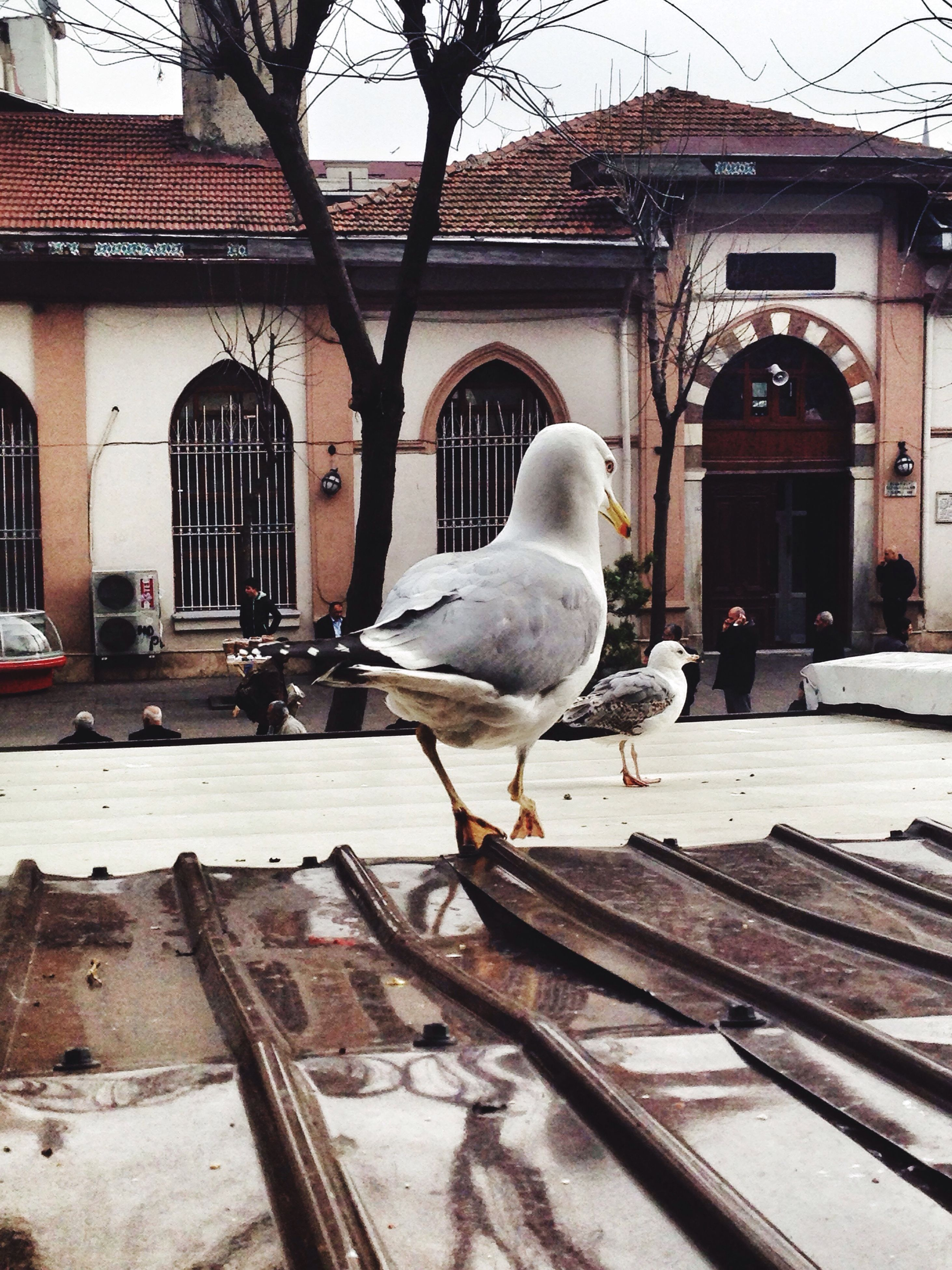 bird, animal themes, building exterior, architecture, animals in the wild, built structure, wildlife, seagull, perching, one animal, pigeon, white color, snow, winter, house, outdoors, city, day, cold temperature, bare tree