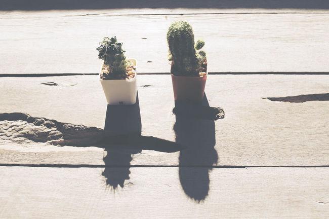Cactus in morning day.Hard light vintage tone. Cactus Flowers Photography Sunrise Sunset Tree Vintage Wood