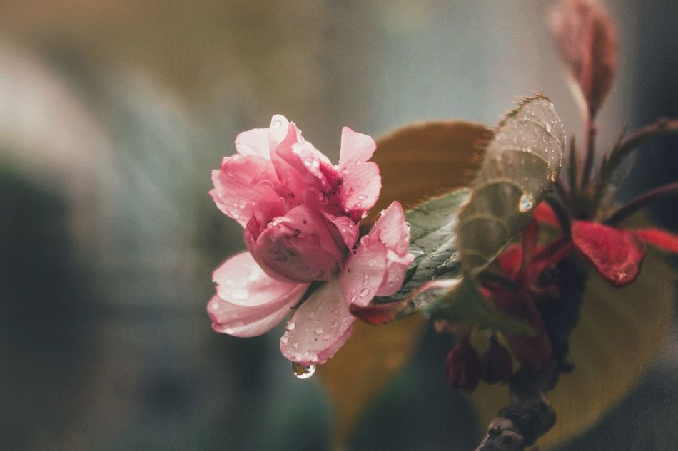 Flowers bloom in the coming and passing of spring rainfall. Flower Pink Color Fragility Nature Petal Beauty In Nature Close-up Day Flower Head Freshness Plant Growth Outdoors Water Springtime Spring Rainy Days Weather DropletLeaf Hopeful