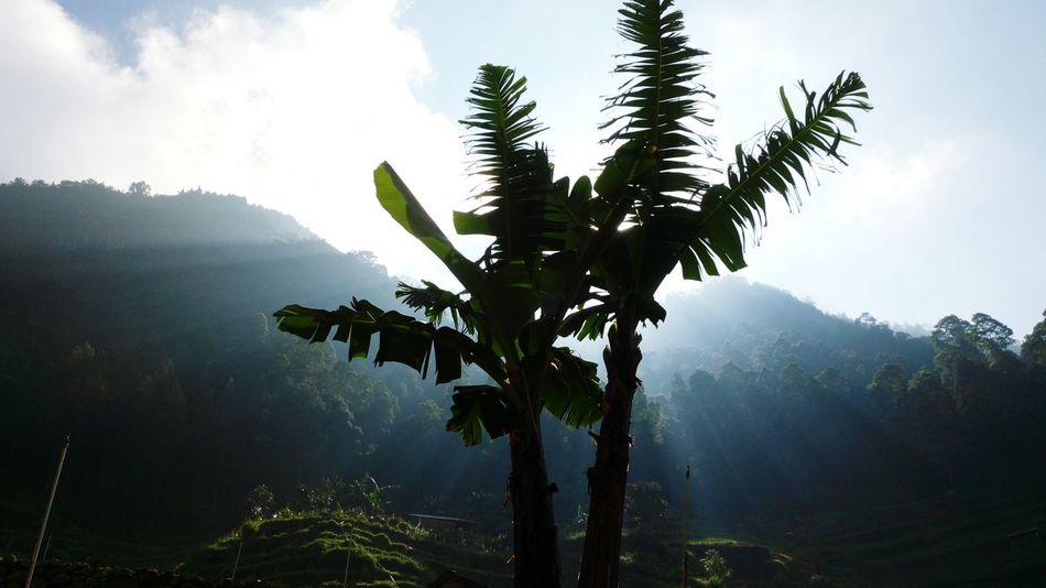 The Mighty Bananas Backlight Banana Tree Mountainlandscape Nature