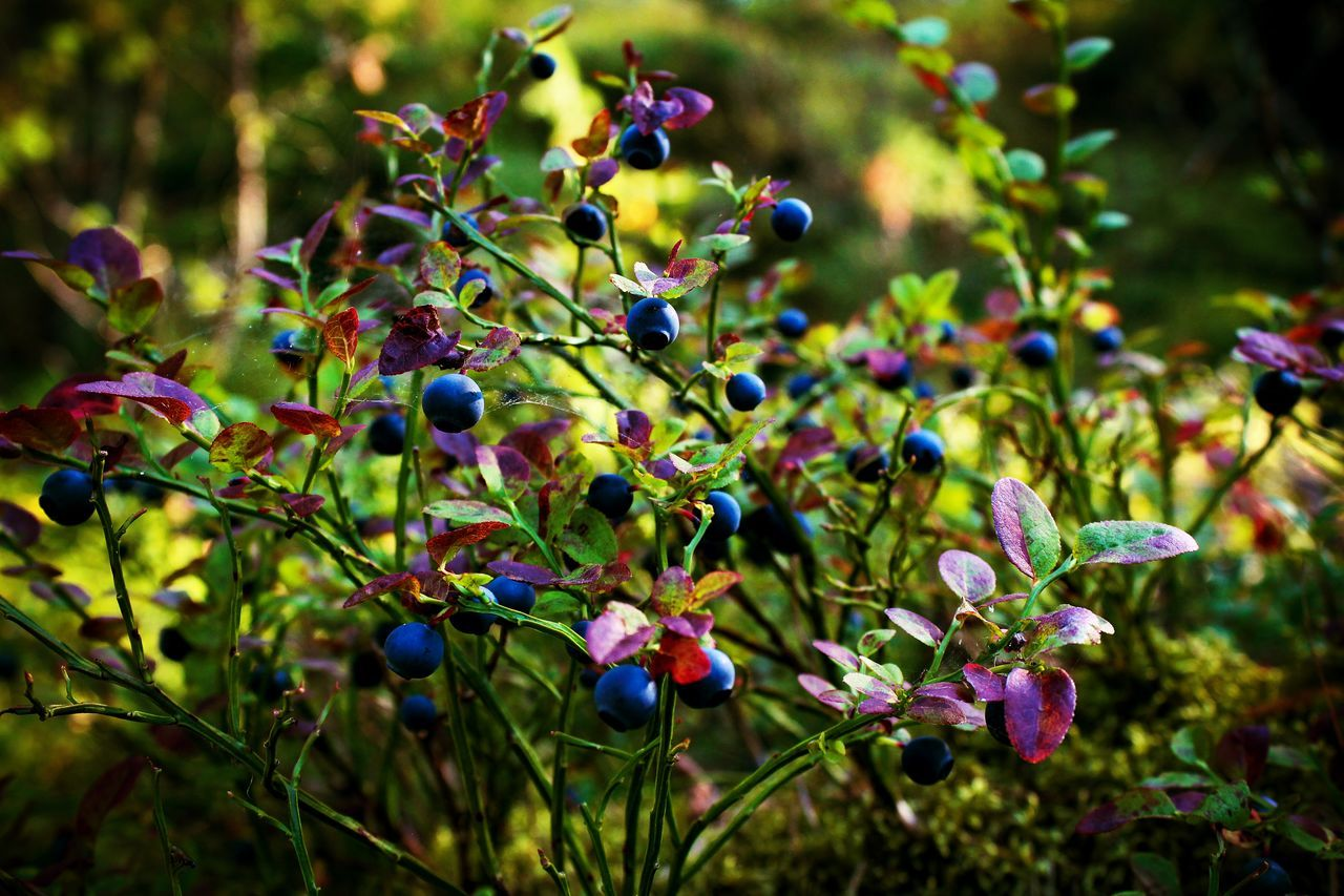 Beauty In Nature Berry Bilberry Blackberry Close-up Day Food And Drink Freshness Fruit Growth Karelia Nature No People Outdoors Plant Rocks Summer Tree Wood