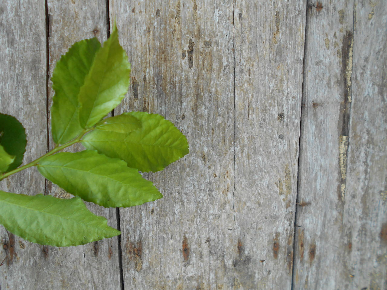 Close-Up Of Fresh Green Leaf On Wood