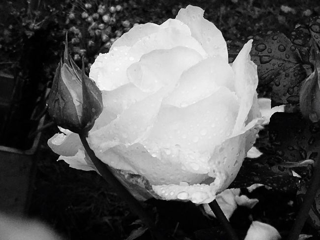 Rose - Flower Taking Photos Sweden Roses Beautiful ♥ EyeEm Best Shots Södermalm Eye4photography  Stockholm Nature EyeEmBestPics My Photography Eye4black&white  EyeEm Best Shots - Black + White Flowers