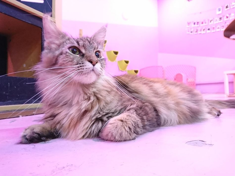 Pets Domestic Cat Domestic Animals Animal One Animal Mammal Pink Color Feline Animal Themes Indoors  Cute No People Looking At Camera Portrait Sitting Day