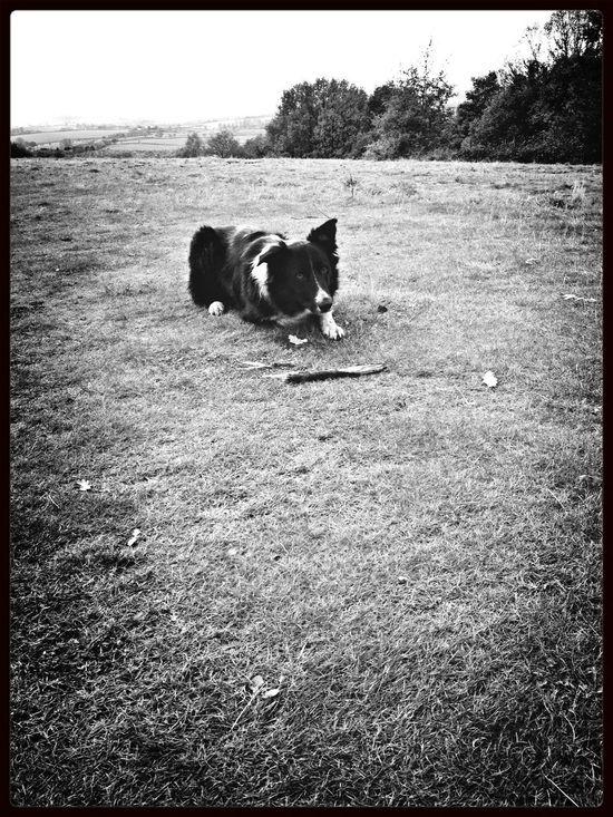 Dog Walking Blackandwhite Border Collie
