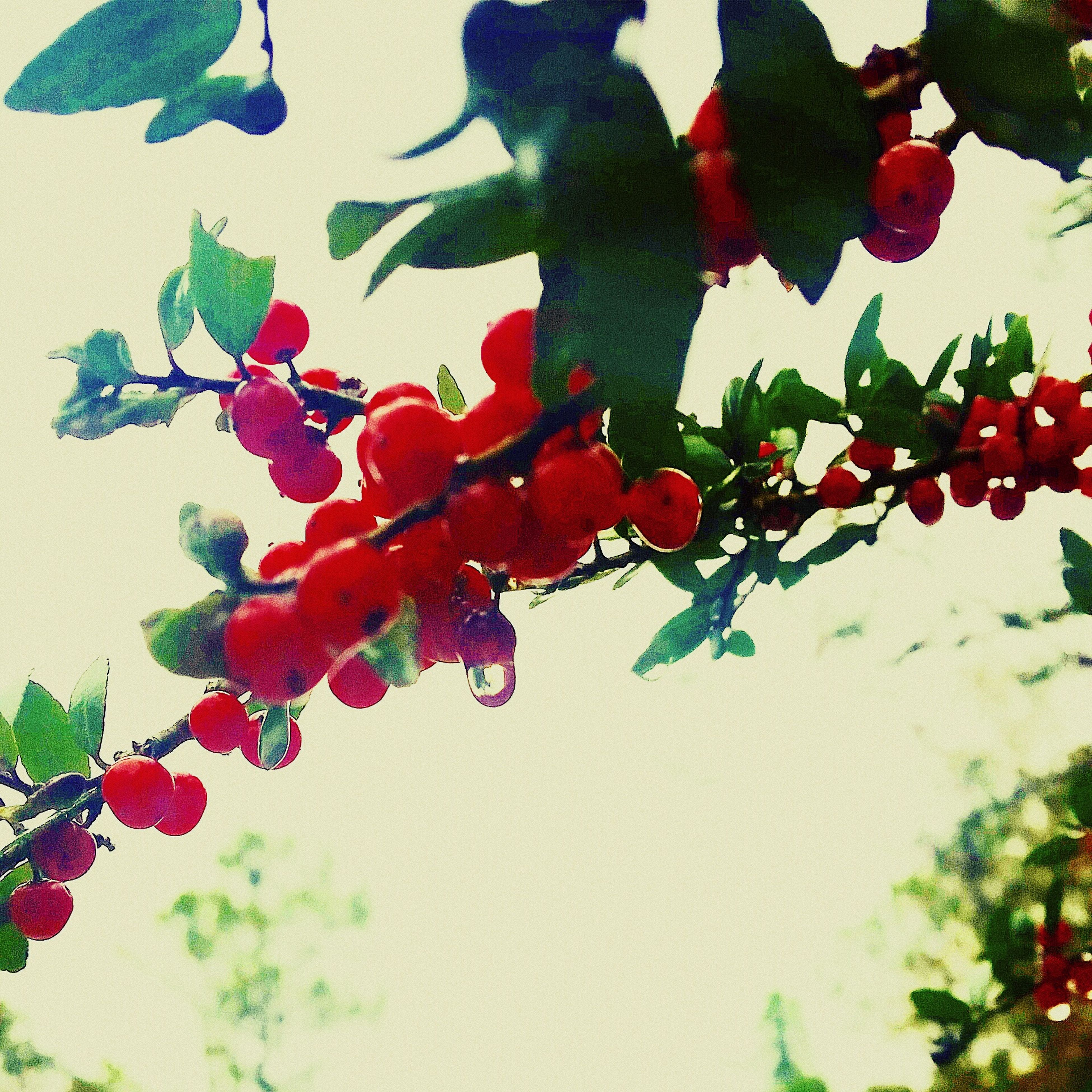 freshness, red, leaf, fruit, branch, growth, flower, low angle view, tree, nature, food and drink, plant, indoors, fragility, hanging, day, food, wall - building feature, no people, stem