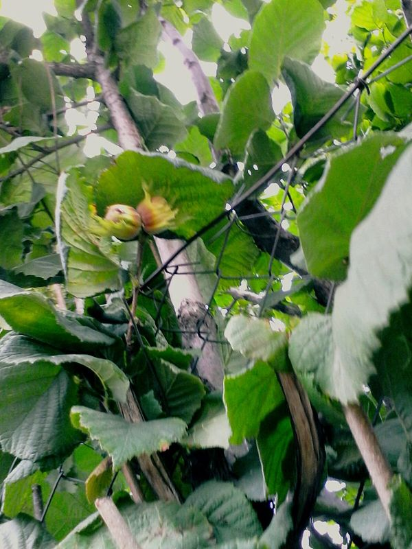 Outdoors Nature Plant Tree Close-up Branch Green Beauty In Nature Day Eyeem Market Eyeemphoto Halzenut Tree @wolfzuachis Ionitaveronica Wolfzuachis Halzenuts Enhanced Slowfood Halzenut Fruits Halzenut Plant Showcase: 2016 No People 2016 Leaves