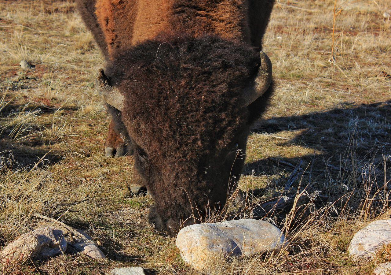 Bison Buffalo Antelope Island