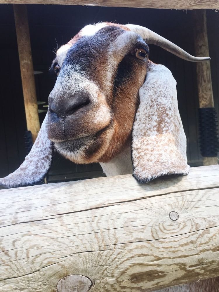 One Animal Animal Themes Auto Post Production Filter Part Of Close-up Mammal Domestic Animals Animal Head  Resting Day Animal Hair No People Animal Zoology Goat