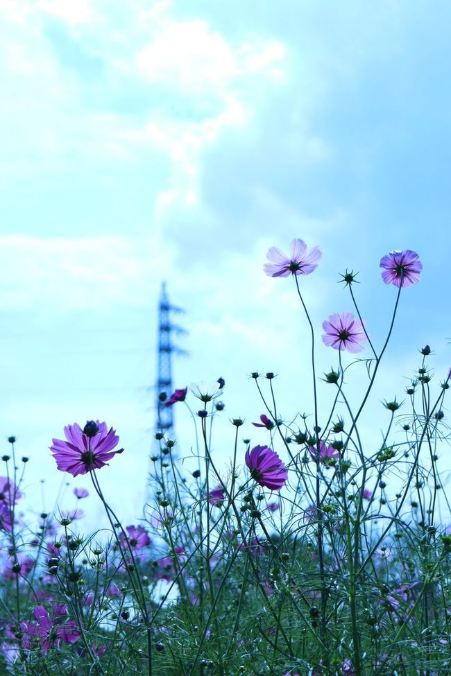 Beauty In Nature Cosmos Flower Autumn Flower Fukuoka,Japan In Bloom Nature Outdoors Sky First Eyeem Photo