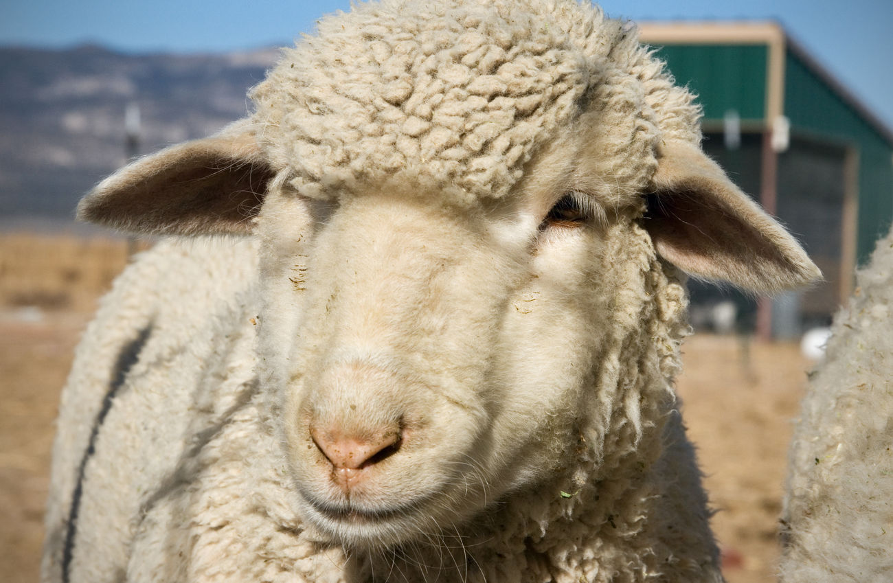 Sheep face Domestic Animals Agriculture Animal Themes Sheep Sheep Farm Wool Animal Head  Sheep Face Animal Faces Cute Animals Farm Animals