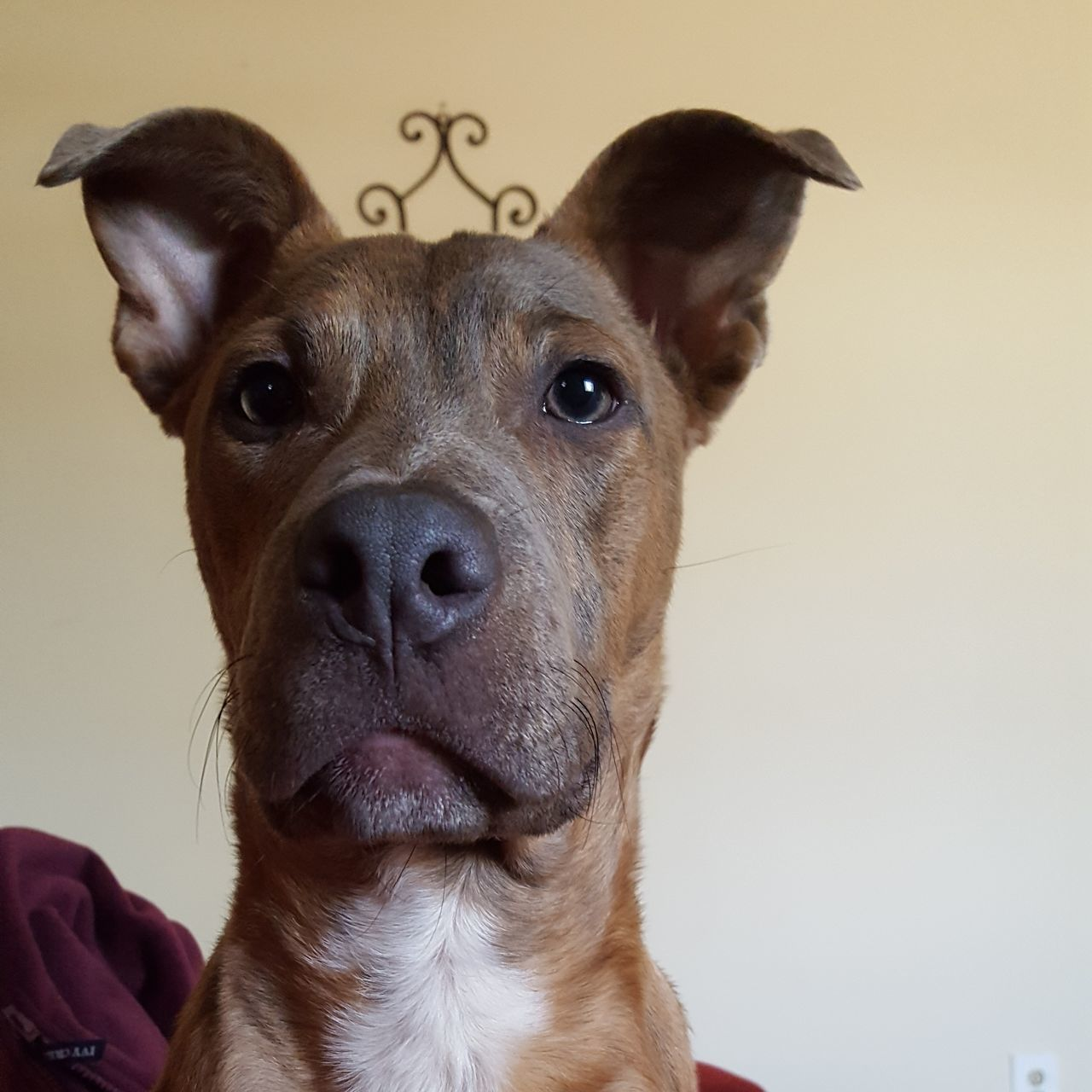 Prince Charming One Animal Looking At Camera Dog Portrait Pets Studio Shot Animal Animal Themes Animal Body Part Close-up No People Domestic Animals Mammal Day Prince Charming Castiel Handsome Boy Pitbull Lovernotafighter My Furbaby Rescue Dog Adopt Dont Shop Love My Life