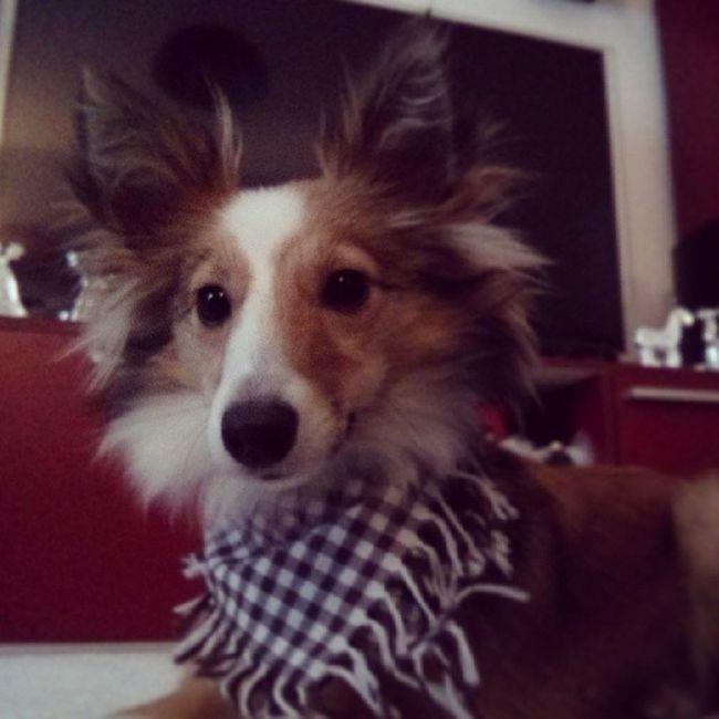 Lookin' good in grandma's homemade present. Sheltie Sheltiemix Mixedbreed Dogscarf dog cute fluffy scarf gift present