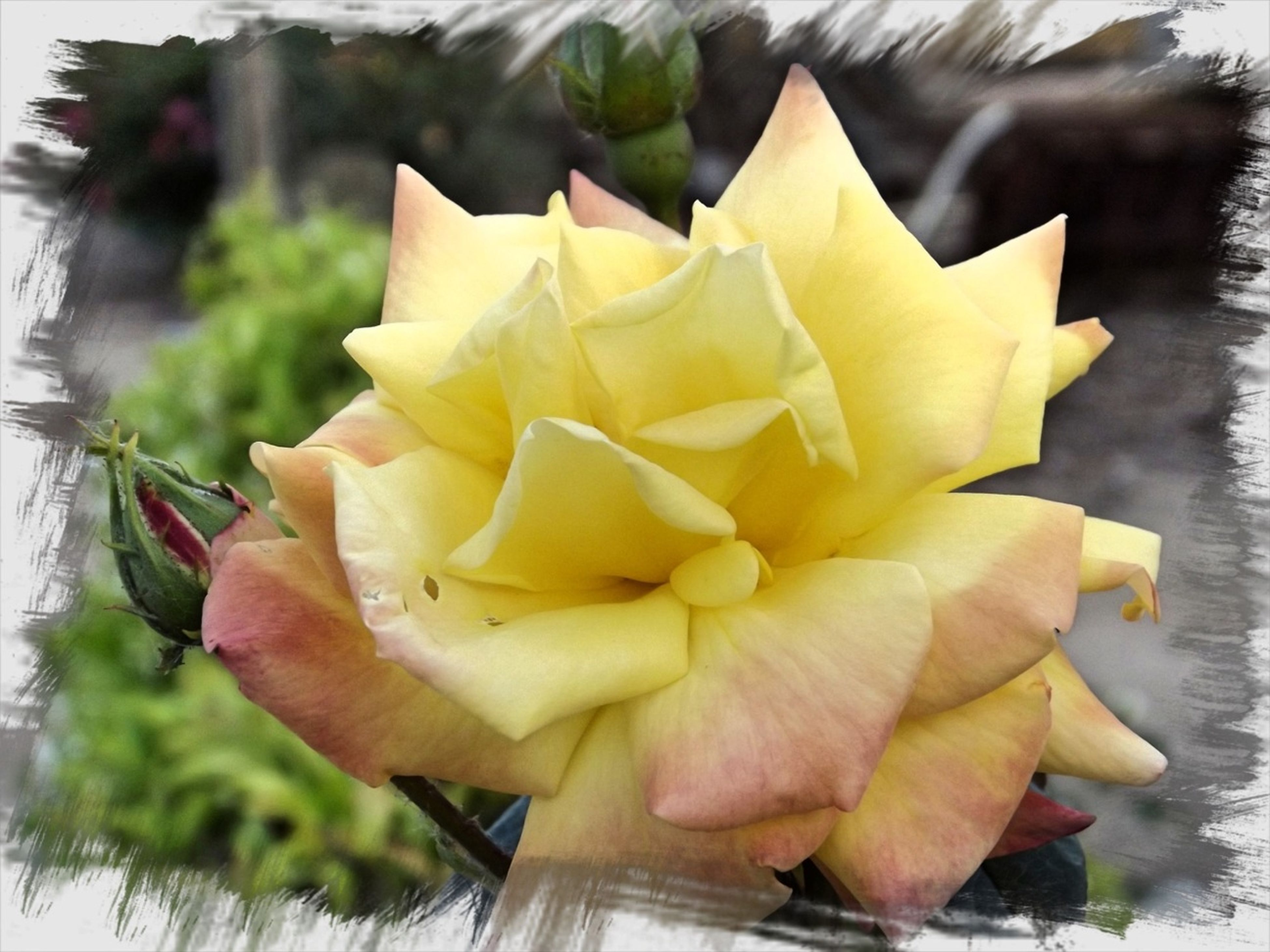 flower, petal, flower head, freshness, fragility, rose - flower, single flower, close-up, yellow, beauty in nature, growth, nature, plant, focus on foreground, blooming, rose, leaf, no people, in bloom, indoors