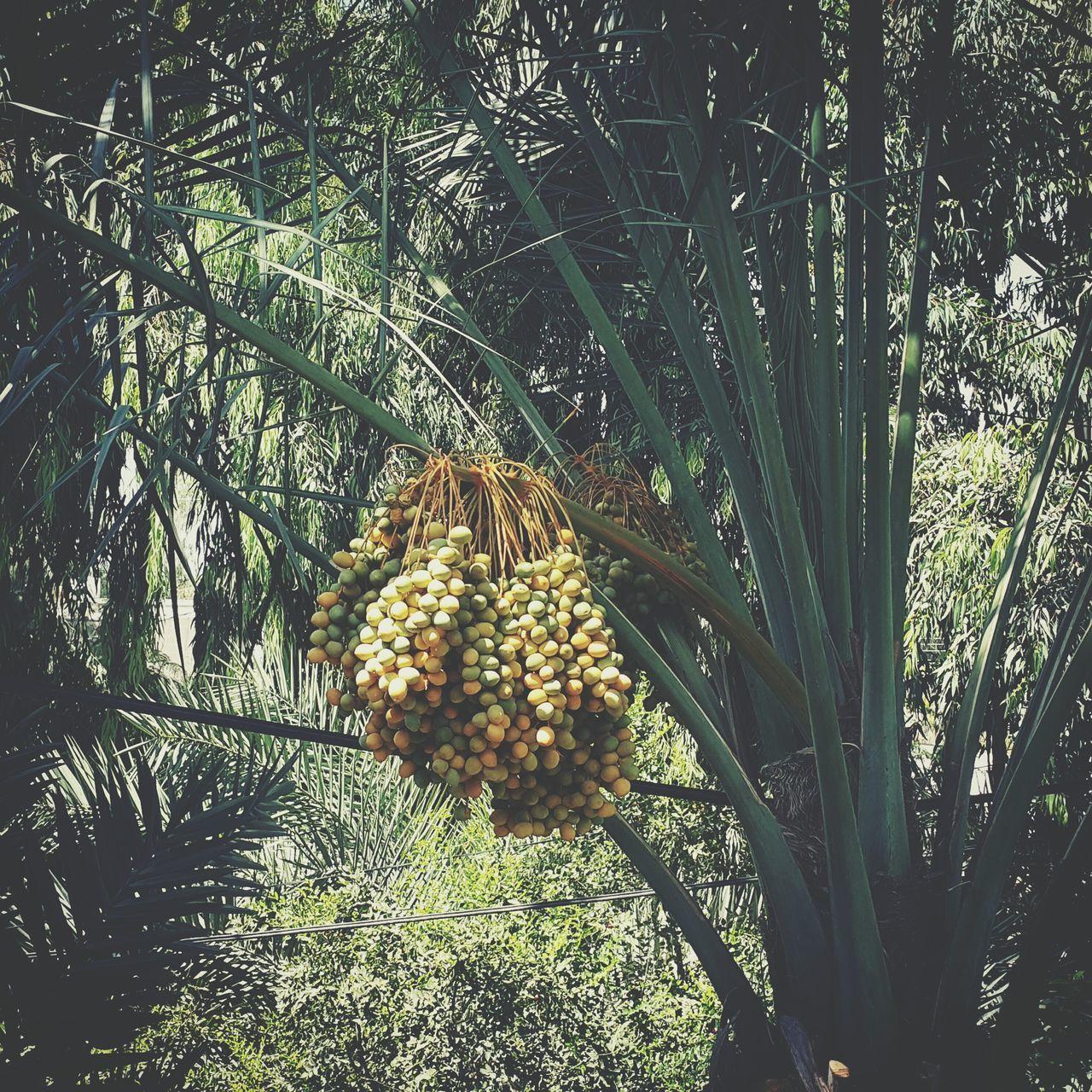 Home garden 😍 Jordan Jordan Valley Palm Trees Dates Home Sweet Home