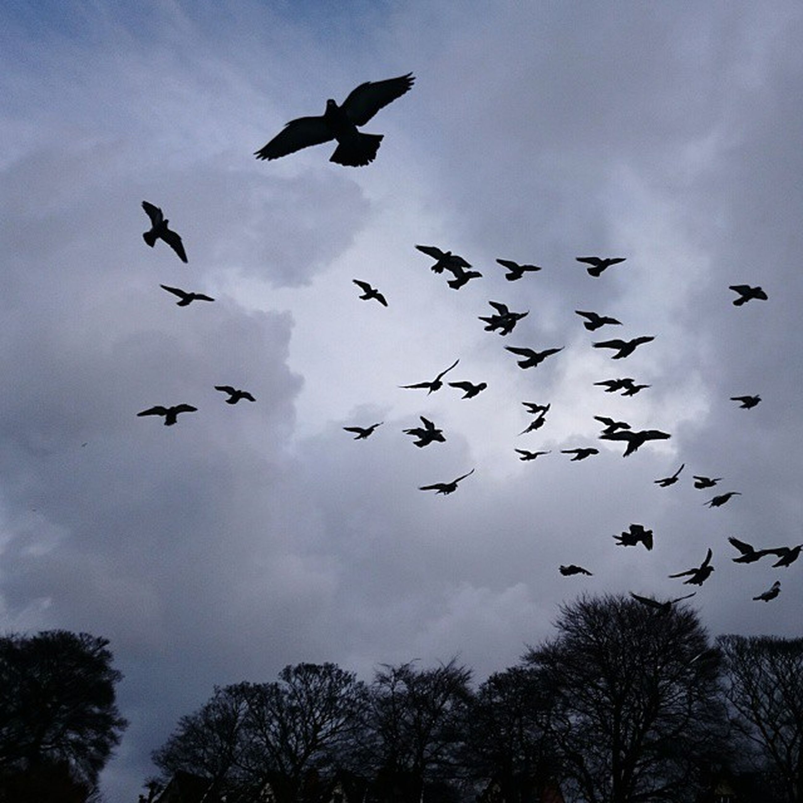 bird, flying, animals in the wild, animal themes, wildlife, low angle view, flock of birds, sky, silhouette, spread wings, mid-air, cloud - sky, tree, nature, beauty in nature, cloud, outdoors, cloudy, medium group of animals