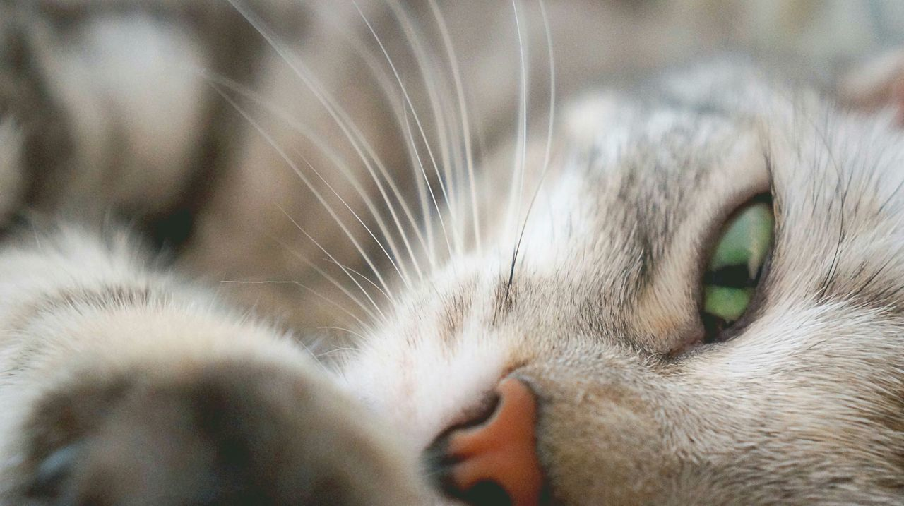 Cat♡ Cats Green Bengal Cat Eyes EyeEm Best Shots Eye Animal Pet Pets Corner