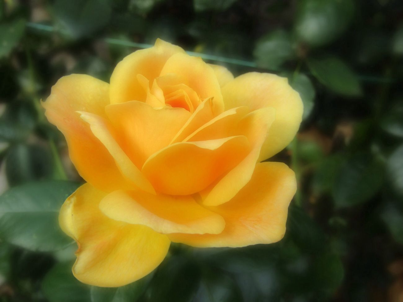 Yellow Rose In Soft Focus Petal Freshness Fragility Flower Flower Head Close-up Growth Beauty In Nature Single Flower Nature Springtime Focus On Foreground In Bloom Plant Vibrant Color Single Rose Softness Blossom