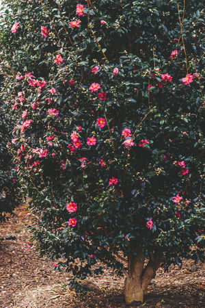 ASIA Camellia Christmas Jeju Korea Beauty In Nature Camellia Flower Christmas Tree Day Flower Freshness Growth Nature No People Outdoors Park Plant Red Summer Tree